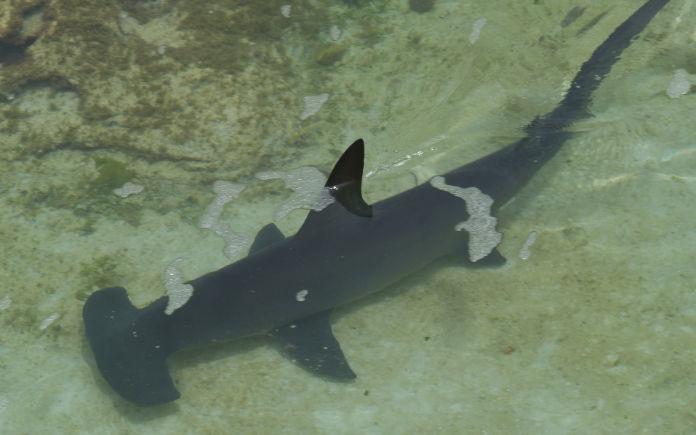 zwemmen met haaien hamerhoofdhaai malediven