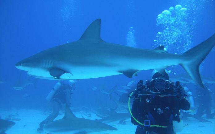 zwemmen met haaien bahama's