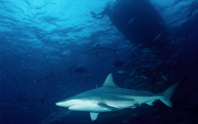 is zwemmen met haaien gevaarlijk