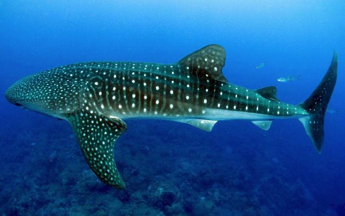 zwemmen met walvishaaien gevaarlijk