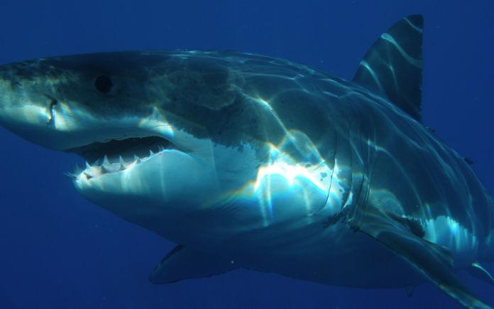 zwemmen met witte haaien