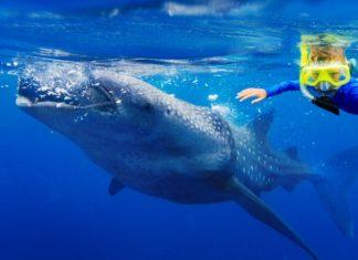 Waar zwemmen met walvishaaien?