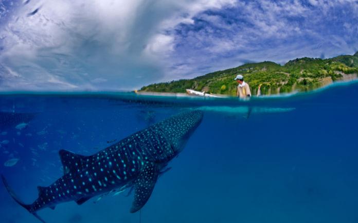 zwemmen met walvishaai