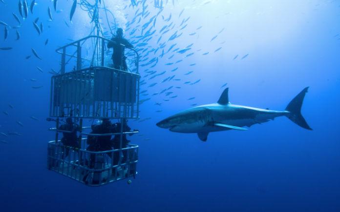 zwemmen met witte haaien kooi