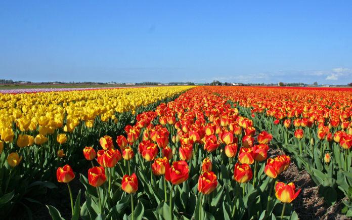 Tulpenvelden alternatief Hallerbos