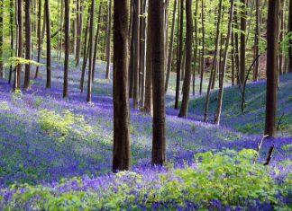 Wandelen in Hallerbos in bloei